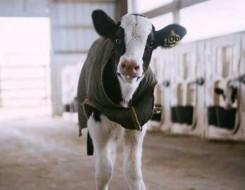 صوت الإمارات - علماء ينجحون في تدريب الأبقار على استخدام دورات المياه